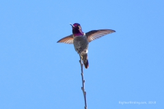 Anna's Humingbird 3