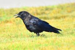 Fish Crow 2