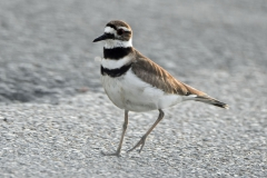 Killdeer (3)