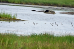 Least Sandpipers Flying