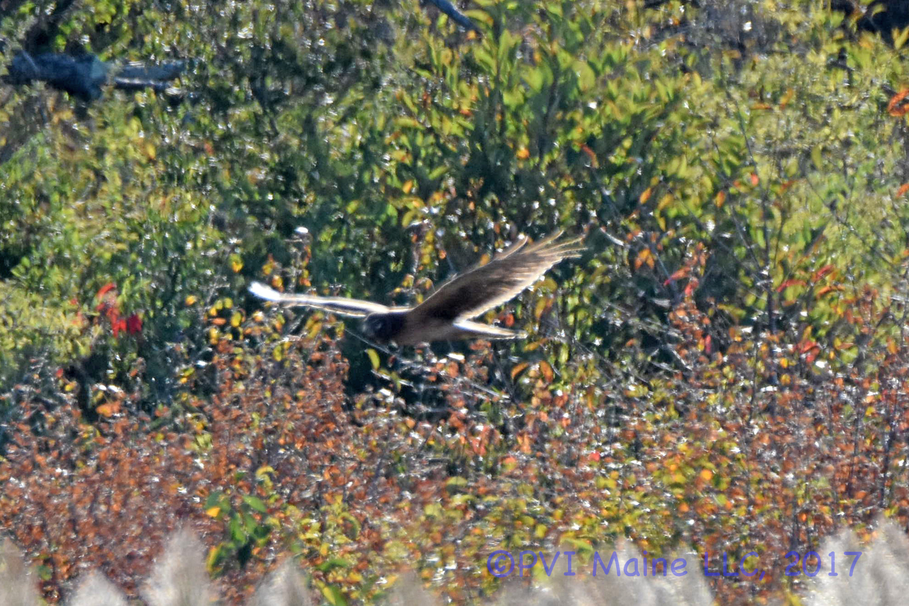 Northern Harrier 2 (1)