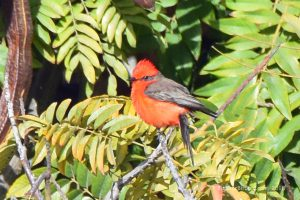 February 23, 2018 – Vermillion Flycatcher (Birding the Mexican Border)