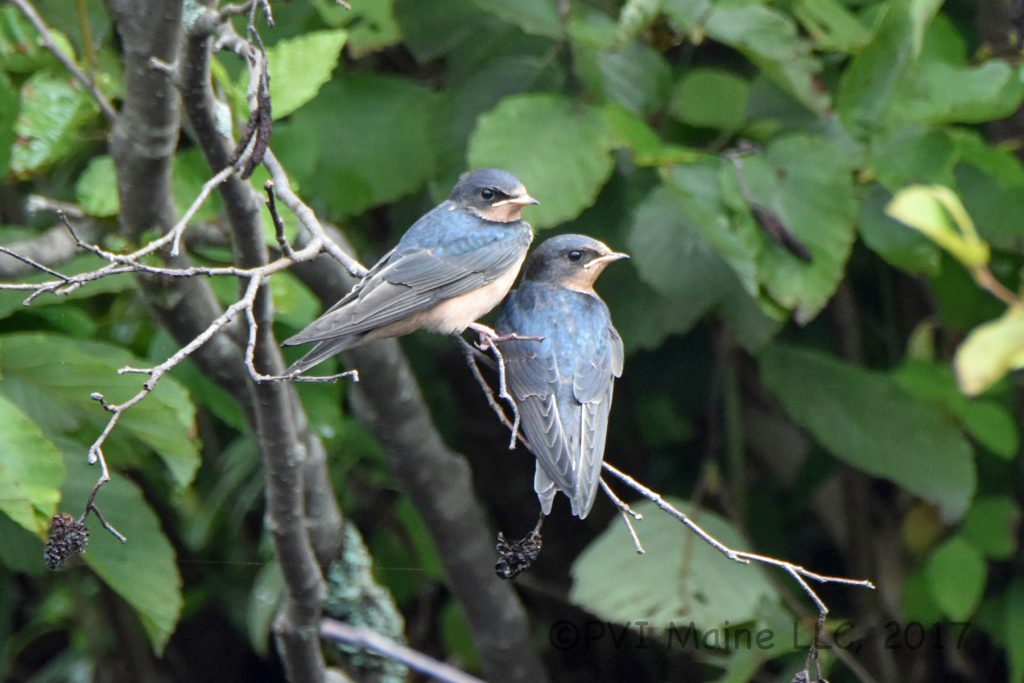 Swallows (6)
