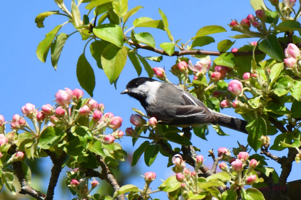 Chickadees and Titmice (9)