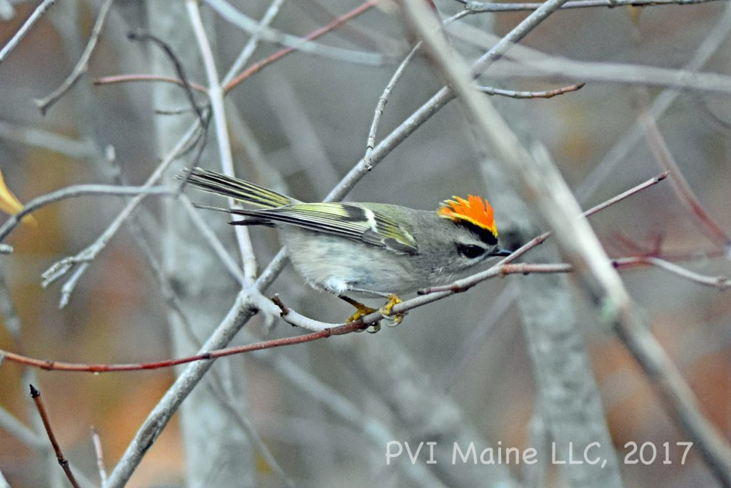 Gnatcatchers and Kinglets (3)