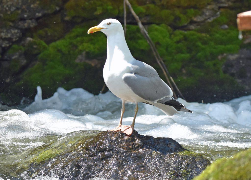 Gulls (12)