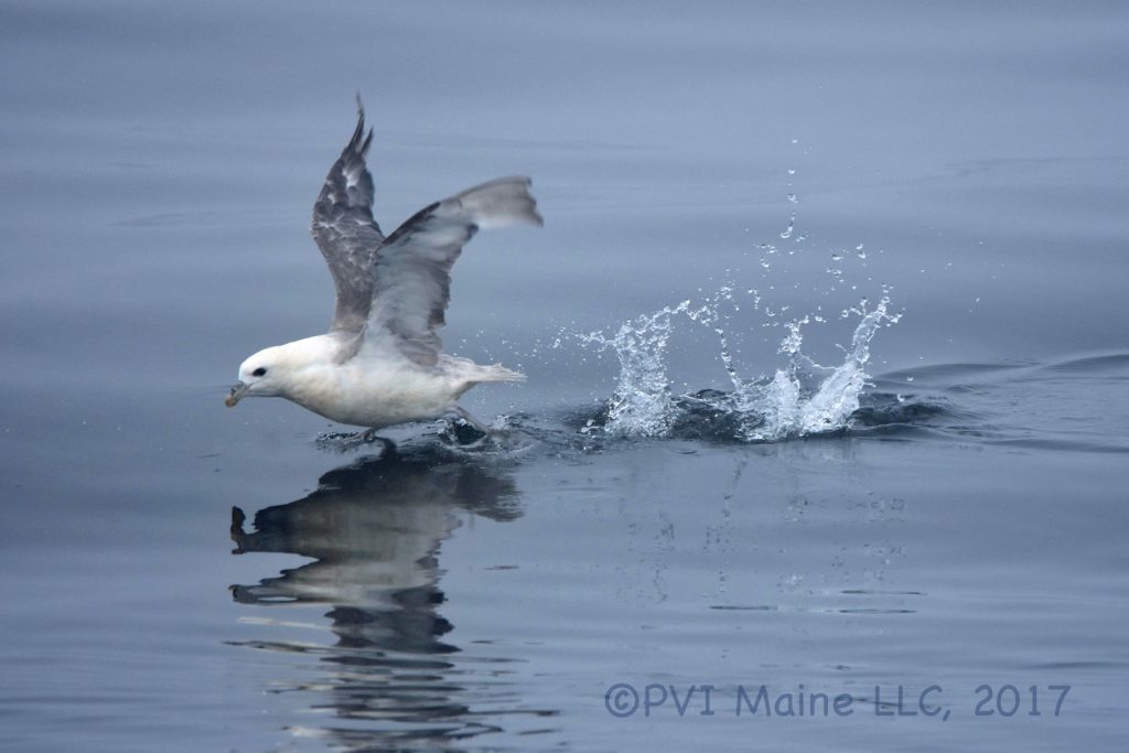 Shearwaters, Storm-Petrels and Tropicbirds (6)