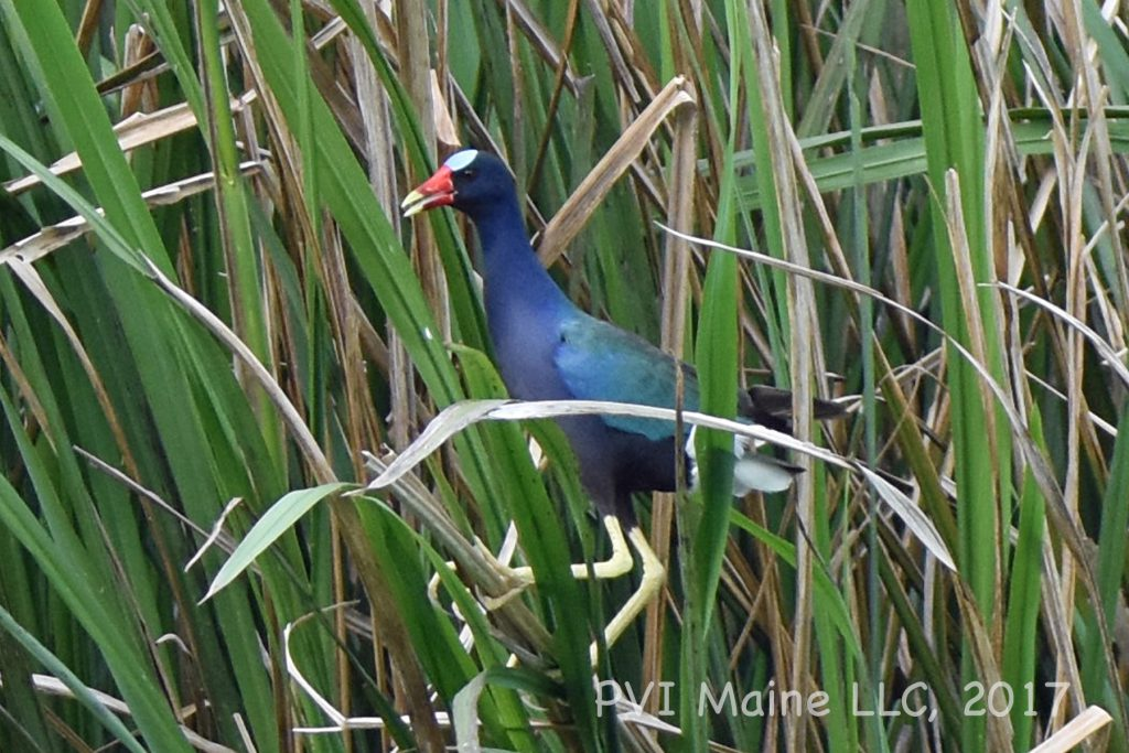 Rails, Gallinules, Coots, and Cranes (8)