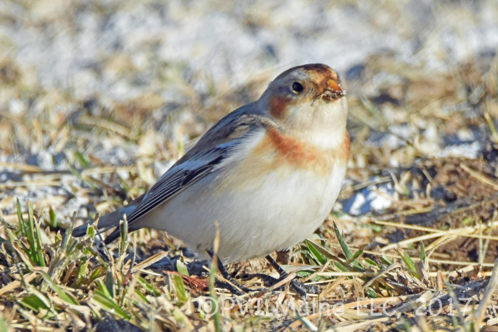 Longspurs and Snow Buntings (2)