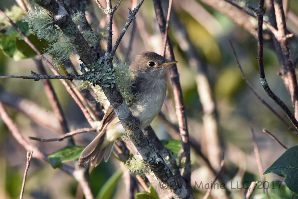 Willow's Flycatcher