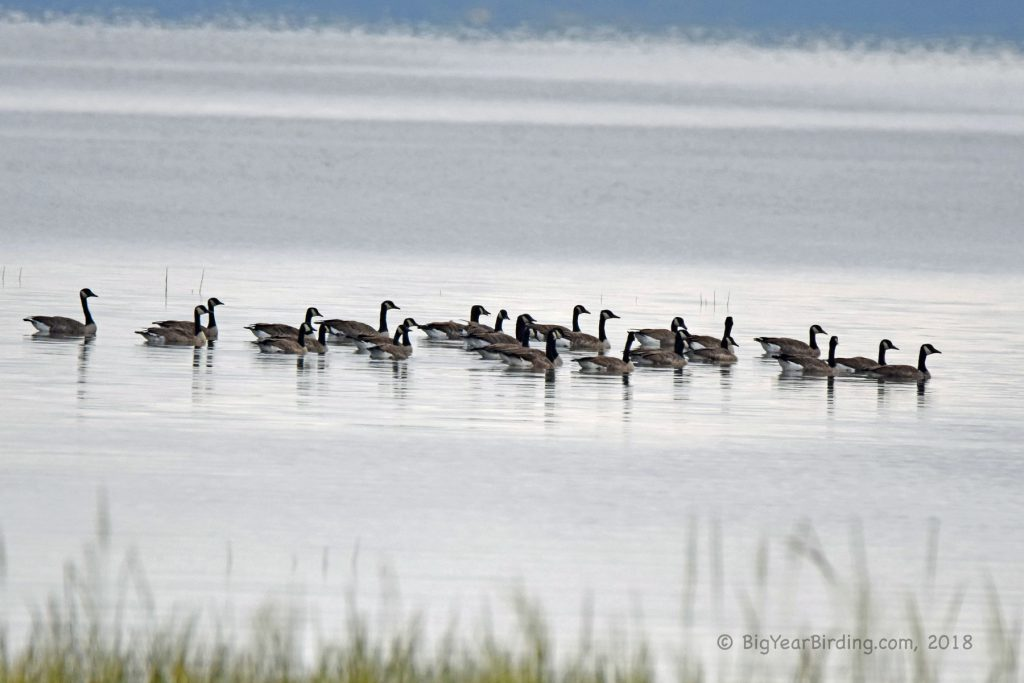 Geese (7)