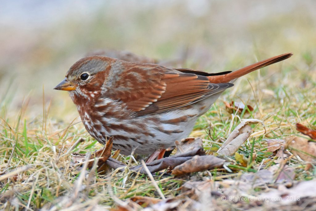 Sparrows (22)