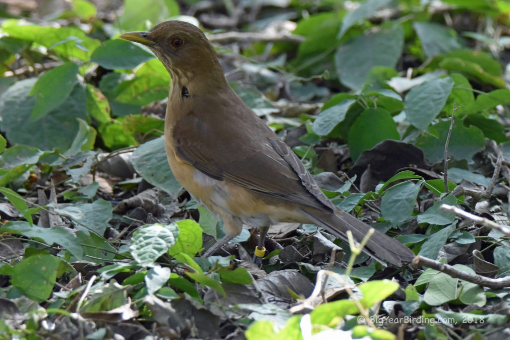 Thrushes (12)