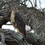 Big Year Birding - Great Black Hawk