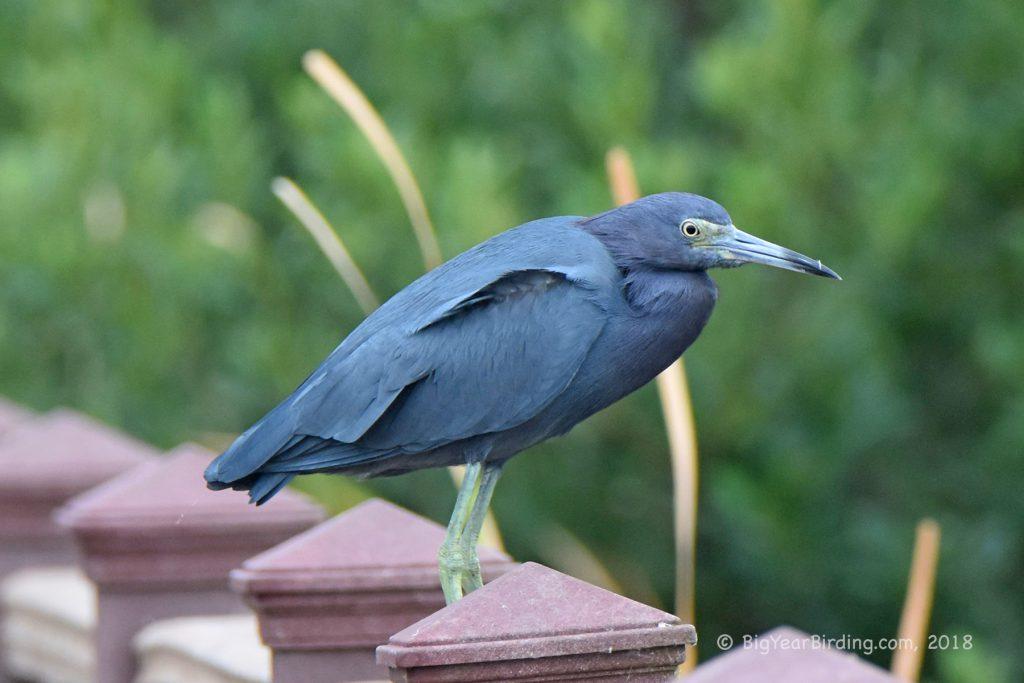 Herons, Egrets and Spoonbills (12)