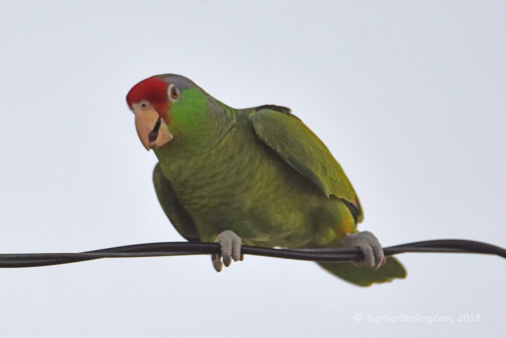 Parrots and Parakeets (4)