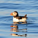 Big Year Birding - Atlantic puffin