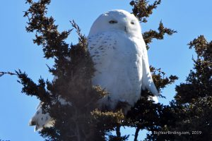 Big Year Birding - Snowy Owl