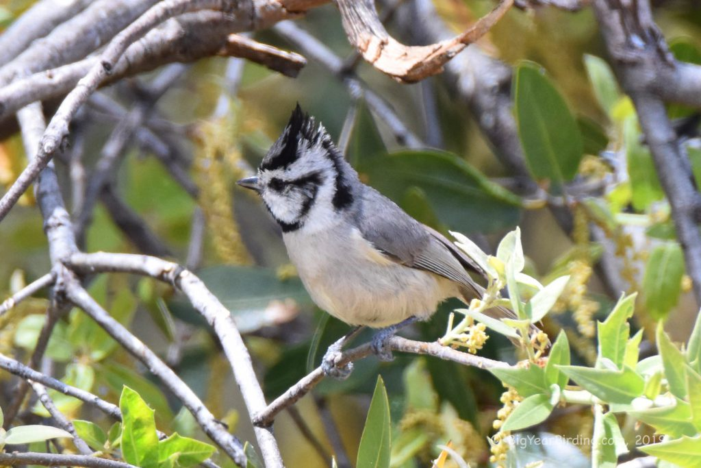 Tits and Titmice (7)