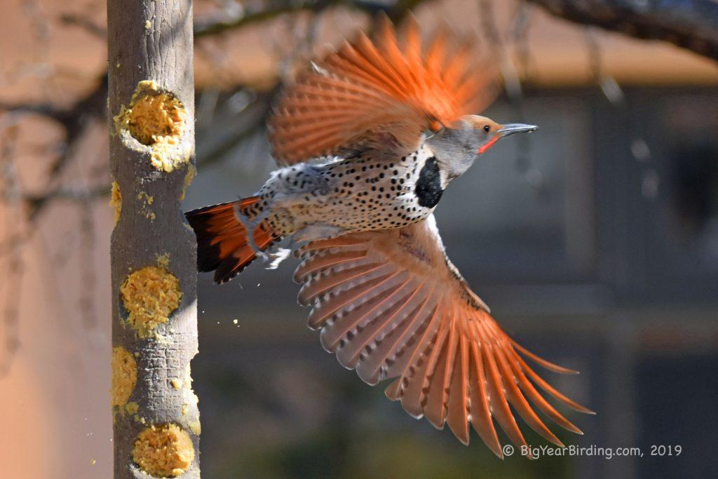 Woodpeckers (15)