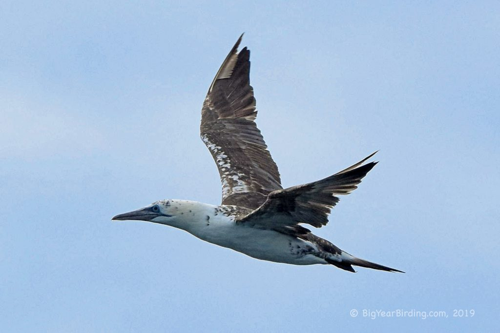 Gannets and Cormorants (7)
